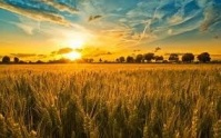 gold wheat